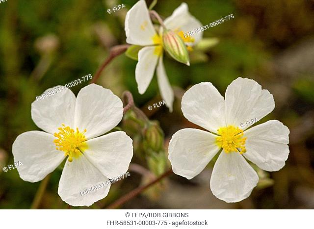 White Rock-rose Helianthemum apenninum flowering, close-up of flowers, France