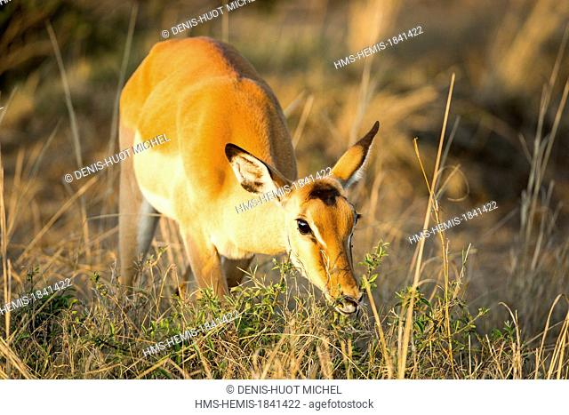 Kenya, Masai-Mara game reserve, Impala (Aepyceros melampus)