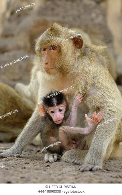Monkeys, animals, Phra Prang Sam Yod, Ruins, Lopburi, Thailand, Asia