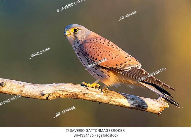 Common Kestrel, Eurasian Kestrel (Falco tinnunculus), adult male perched on a dead branch, Montecorvino Rovella, Campania, Italy