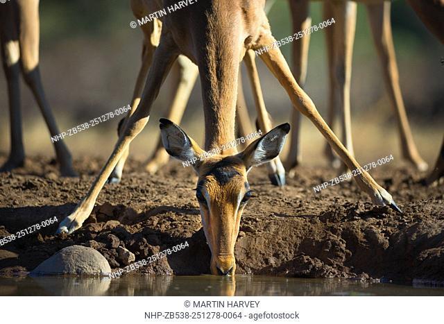 Impala(Aepyceros melampus)Drinking at waterhole.Mashatu game reserve.Botswana