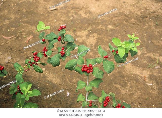 chandra bhaga Rauwolfia serpentina  , india