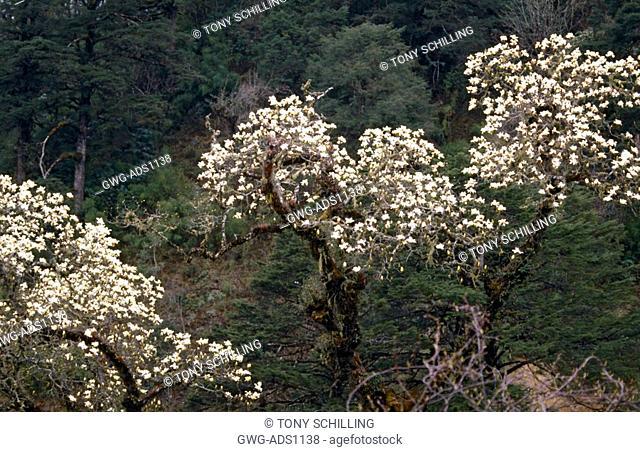 MAGNOLIA CAMPBELLII THREE TREES TOP VIEW