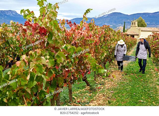 Grape harvest, Tourism in vintage practices in vineyards, Briones, La Rioja, Spain, Europe