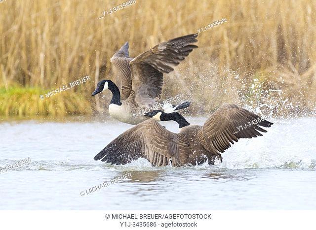 Fighting Canada Geese (Branta canadensis), Hesse, Germany, Europe