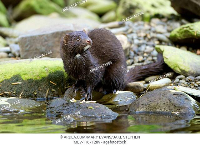 American Mink standing on rock next to river