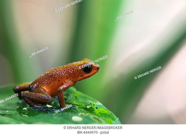 Strawberry poison-dart frog (Oophaga pumilio) sitting on leaf, Tortuguero National Park, Costa Rica