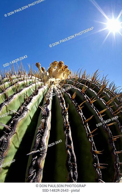 Mexico, Guanajuato, San Miguel de Allende, Barrel Cactus in Botanical Gardens