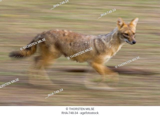 Indian Jackal, Canis aureus, Bandhavgarh N.P., Madhya Pradesh, India