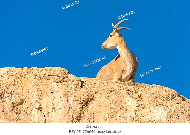 Wild Nubian Ibex Goat at sunrise at Ramon Crater in the Negev Desert of Israel