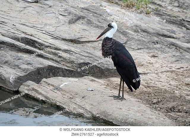 A woolly-necked stork or white-necked stork (Ciconia episcopus) at the Talek River in the Masai Mara National Reserve in Kenya