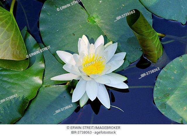 Water Lily (Nymphaea), Mainau island, Lake Constanz, Baden-Württemberg, Germany