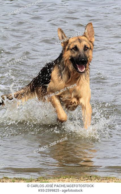German Shepherd dog, Cáceres, Extremadura, Spain