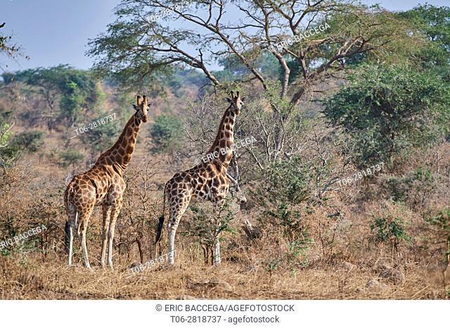 Rothschild's giraffe (Giraffa camelopardalis rothschildi) in Murchisson Falls National Park, Uganda