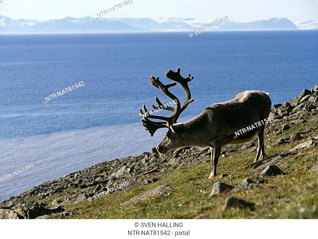 A reindeer, Svalbard, Norway