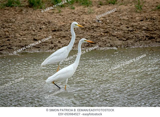 Two Yellow-billed egrets standing in the water in the Kalagadi Transfrontier Park, South Africa