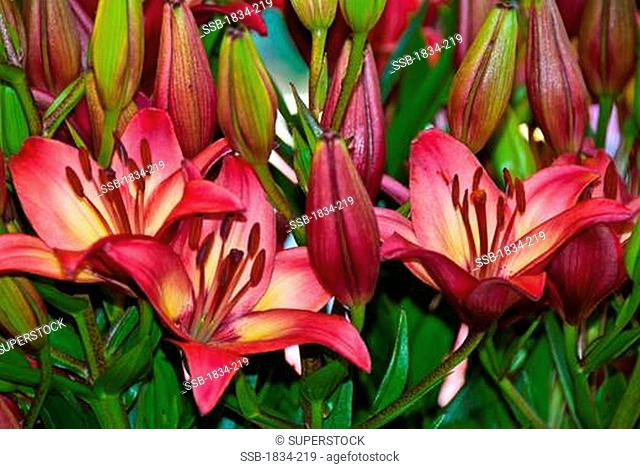 Lilies for sale at Pike Place Market, Seattle, Washington, USA