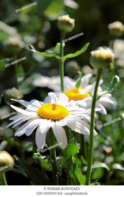 Close up of chamomile on a green meadow. Selective focus