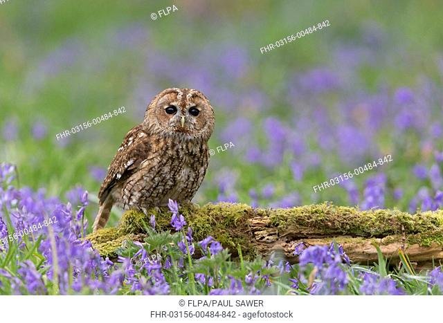 Tawny Owl (Strix aluco) adult, perched on mossy log amongst Bluebell (Hyacinthoides non-scripta) flowers, Suffolk, England, May (captive)