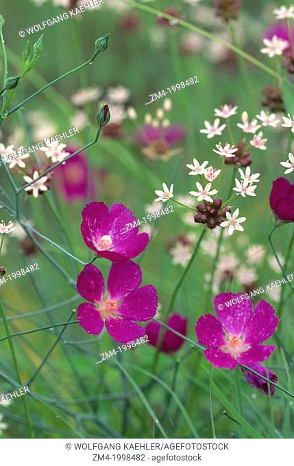 USA, TEXAS, AUSTIN, NATIONAL WILDFLOWER RESEARCH CTR, STANDING WINECUP & WILD ONION