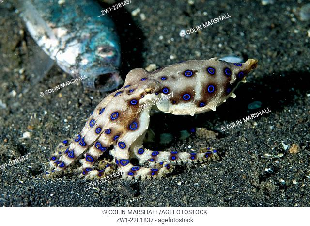 Midring Blue-ringed Octopus (Hapalochlaena sp.) with dead fish, Bronsel dive site, Lembeh Straits, Sulawesi, Indonesia