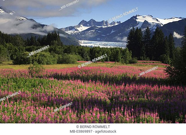 USA, Alaska, landscape, meadow, flowers, Schmalblättrige Weidenröschen, forest, mountains, Mendenhall-Gletscher, summers, North America, southeast-Alaska