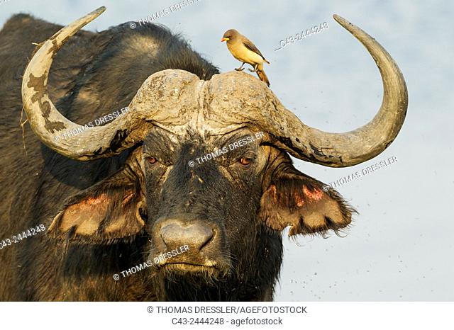 Cape Buffalo (Syncerus caffer caffer) - Bull with Yellow-billed Oxpecker (Buphagus africanus). The oxpeckers are associated with large mammals and peck ticks...