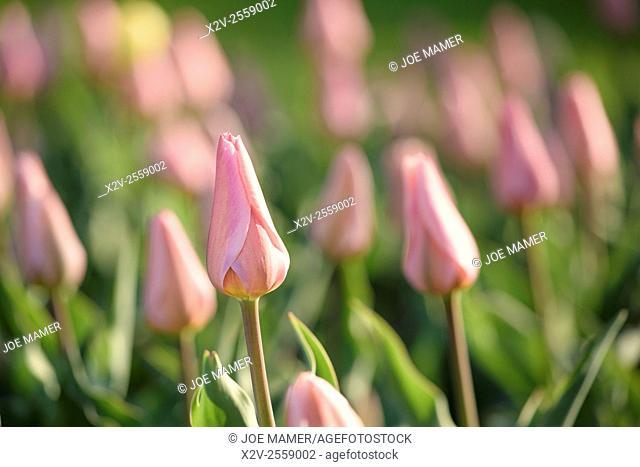 Pink tulip flower display at the Minnesota Landscape Arboretum