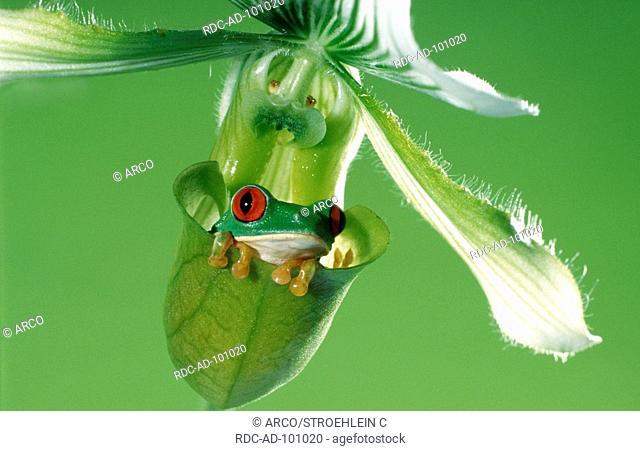 Red-eyed Tree Frog on Slipper Orchid, Agalychnis callidryas, Paphiopedilum delenatii