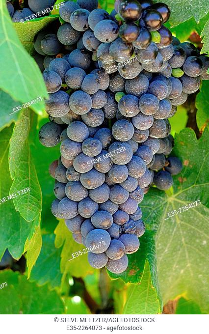 A large bunch of grapes ready for harvest