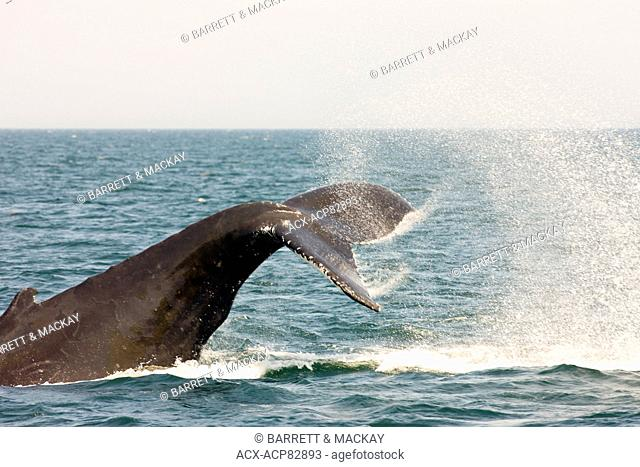 (Megaptera novaeangliae), Humpback Whale tail lobbing, Bay of Fundy, New Brunswick, Canada