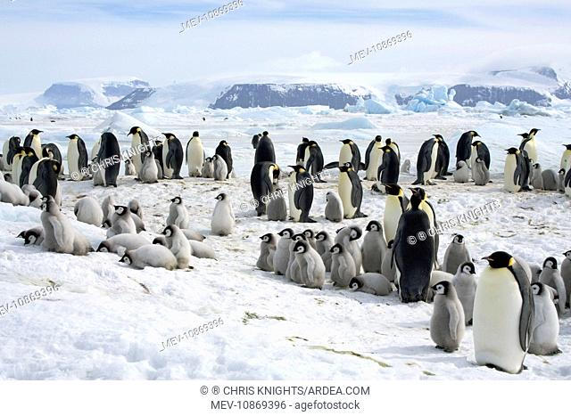 Emperor Penguin - Rookery with chicks laying on snow helping to cool off on the sea ice (Aptenodytes forsteri). Snow Hill Island - Antarctic October