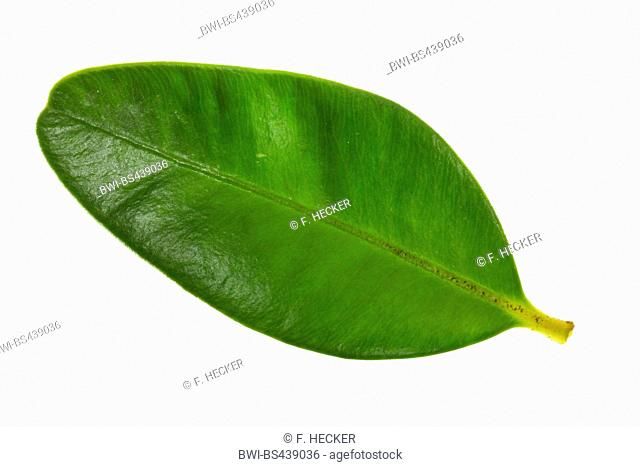 Common box, Boxwood (Buxus sempervirens), single boxwood leaf, cut out
