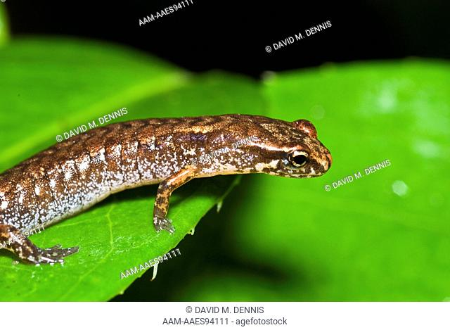 Pygmy Salamander (Desmognathus wrighti) Chimney Tops Trail, Great Smoky Mountains National Park, TN Pygmy Salamander, Desmognathus wrighti, Chimney Tops Trail