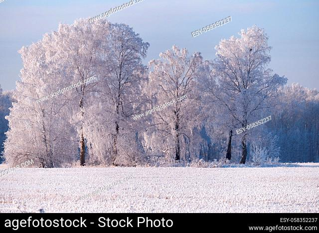 Siberian natural winter season landscape. Frozen birch trees covered with hoarfrost and snow