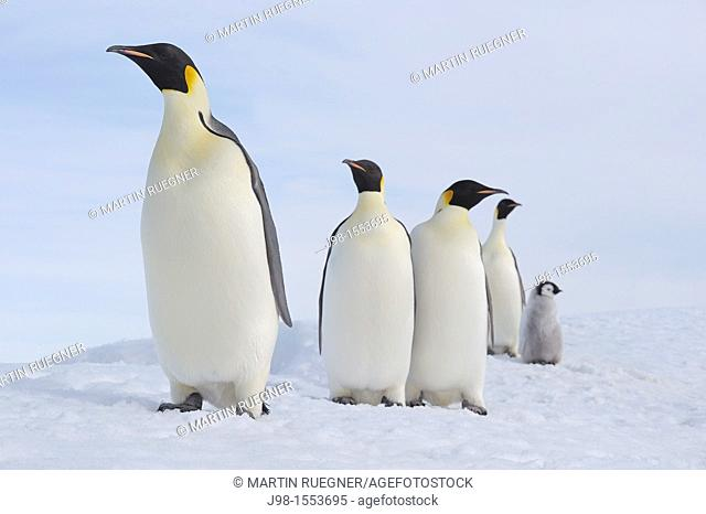 Emperor Penguin Aptenodytes forsteri group of adults and a ckick in a row  Snow Hill Island, Antarctic Peninsula, Antarctica