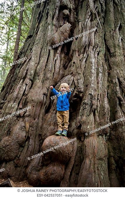 Young boy climbs a growth on a huge tree along the Lady Bird Johnson Grove Trail in the California Redwoods National Park in coastal Northwest California