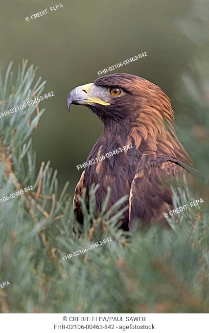 Golden Eagle (Aquila chrysaetos) juvenile, close-up of head and chest, perched in Scots Pine (Pinus sylvestris), September (captive)