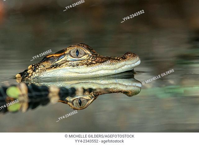 American alligator, Alligator mississippiensis, juvenile