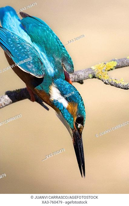 European Kingfisher (Alcedo atthis) get ready to fish