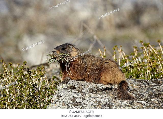 Yellow-bellied marmot yellowbelly marmot Marmota flaviventris with nesting material, Yellowstone National Park, Wyoming, United States of America, North America