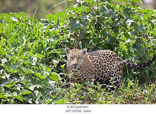 jaguar - standing / Panthera onca