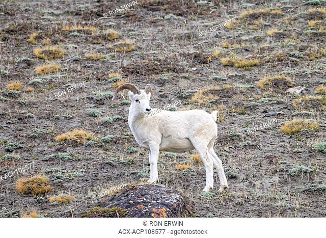 Dall or Thinhorn Sheep (Ovis dalli dalli) ram, Kluane National Park and Reserve, Yukon, Canada - the ram's horns will spiral and grow more with age