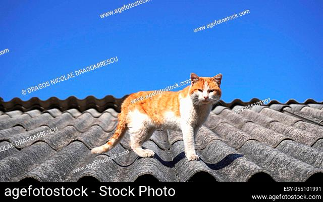 Old stray cat on a roof with clear blue sky. Domestic animal