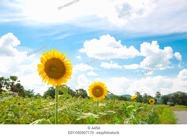Sunflower in full bloom. Sunflower cultivation in Yellow flowers bloom in summer