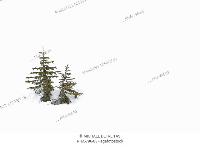 Christmas outdoor scene of snow and pine trees