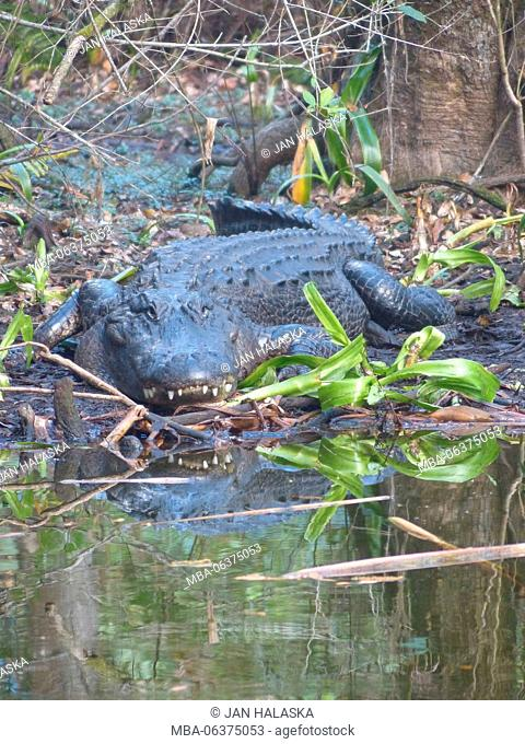 American alligator digesting on the bank of pond