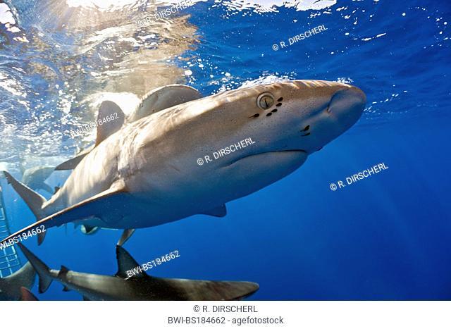 Galapagos shark (Carcharhinus galapagensis), swimming, USA, Hawaii, Pacific, Oahu