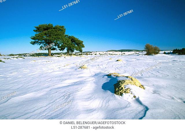 Snow covered landscape with pines. Serranía de Cuenca, Cuenca province. Spain