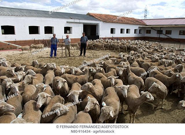 Pastores con ovejas de raza merina en una finca de La Serena  Badajoz  Extremadura  España